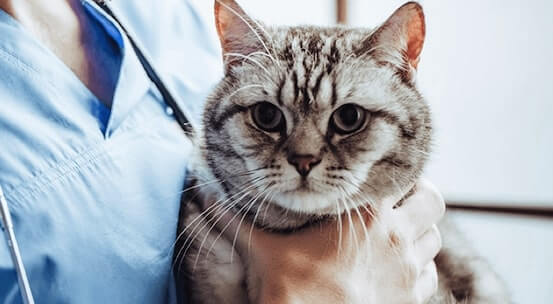 Close-up of tabby cat being held closely by veterinary professional