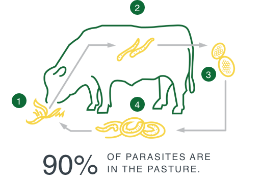Internal parasite lifecyle - 90% of parasites are in the pasture