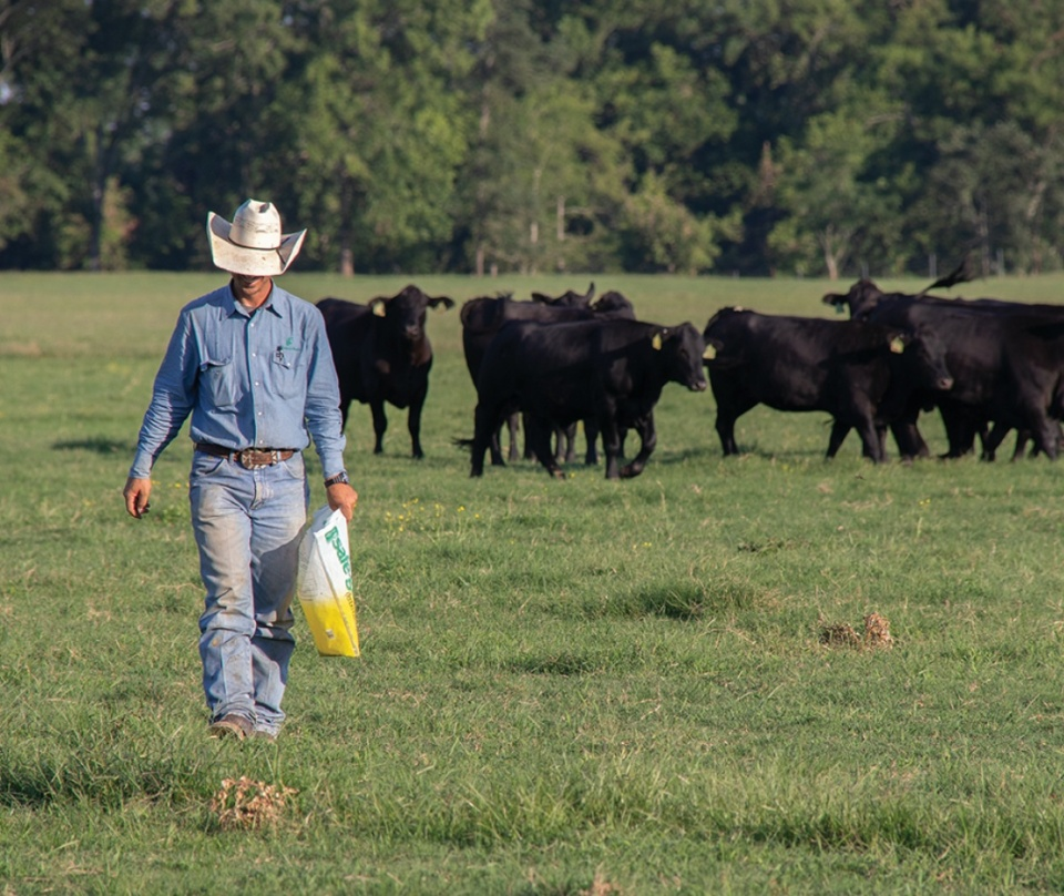 Cattle being dewormed with SAFE-GUARD