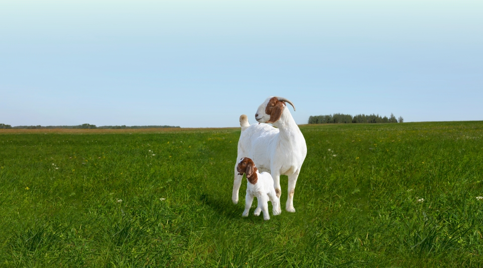 Goat on hill