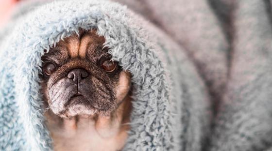 Pug with blanket