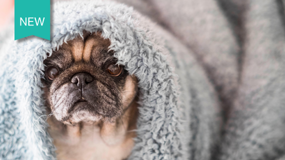 Cute pug wrapped in a blanket